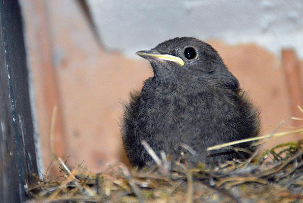 5229 / Woche 29 / Junger Hausrotschwanz im Nest, in Glattbrugg