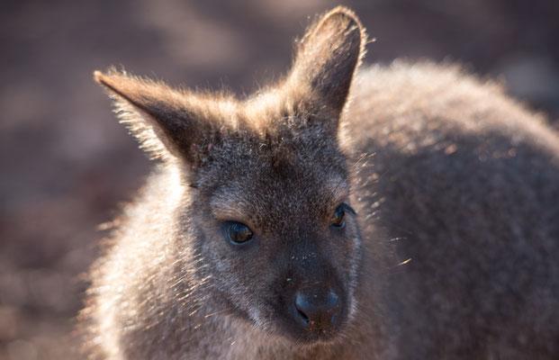 2020 Woche 4, Zoo Zürich, Australien-Haus, Bennett-Wallaby