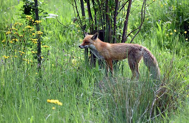 Nr. 5123 / Woche 23 / Fuchs im Tierpark Langenberg, Langnau