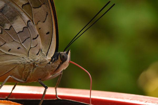 5348 / Wochenbild, Schmetterling im Papiliorama bei Kerzers