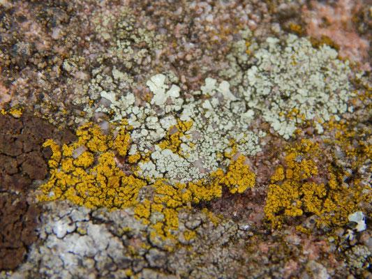Gelbflechten wachsen auch mal auf steinigem Untergrund