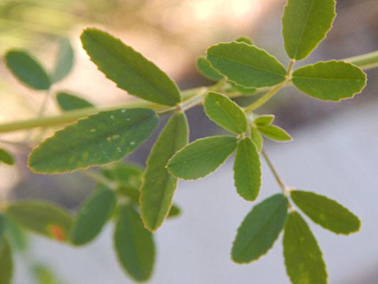 Blätter vom Steinklee