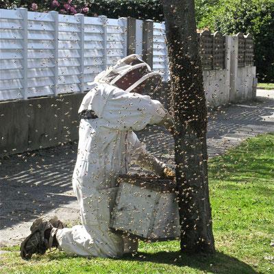 L'apiculteur récupère n essaim d'abeilles installé sur un arbre en face d'une école primaire