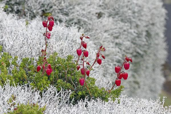 ... auf den Felsen wachsen zwischen den Flechten wiederum Arten wie die Azoreanische Glockenheide (Daboecia azorica)