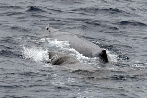 Wer von Pico aus Wale beobachten will kommt hier voll auf seine Kosten. Fast garantiert trifft man hier auf Pottwale (Physeter macrocephalus hier mit Kalb)