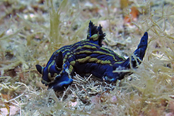 Und wieder eine Nacktschnecke (vermutlich Hypselodoris picta)