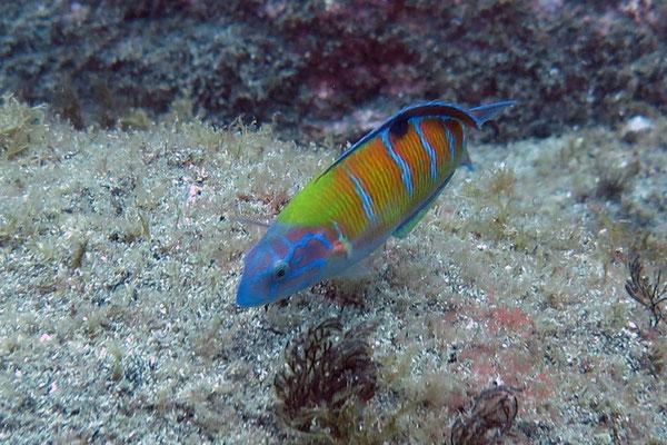Auch bunt geht es vor den Inseln zu - hier ein Meerpfau (Thalassoma pavo)