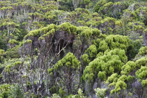 Die endemische Azoren-Heide (Erica azorica) - ganze Wälder davon wuchsen ursprünglich auf den Azoren.