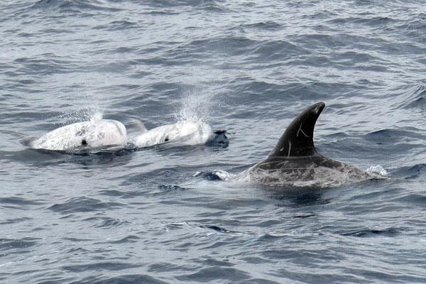 ... oder auch Rundkopfdelfine (Grampus griseus)