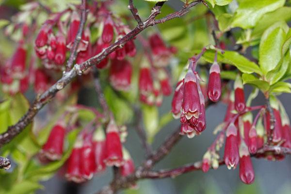 Die Azoren-Heidelbeere (Vaccinium cylindraceum) - eine wunderschöne Art, die nur auf den Azoren vorkommt.