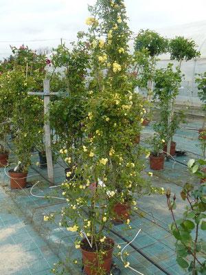 conseil de plantation de rosier roseraie Da Ros Fauillet