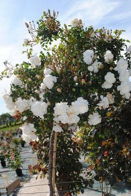 plantation d'un rosier roseraie Da Ros Fauillet
