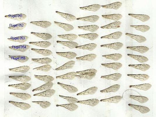 Anzahl an Flügeln von Bienen eines Volkes die zur genauen Bestimmung benötigt werden