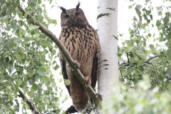 Altvogel schaut bei der Beringung der Jungen aus luftiger Höhe zu.   Foto: NABU / Borck