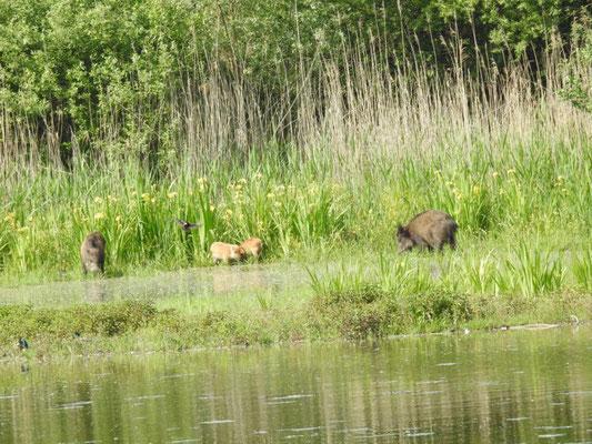 Wildschweine (Foto: M. Manyoki)
