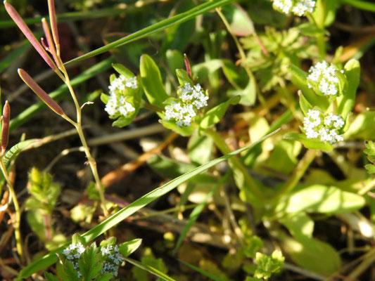 Feldsalat (Valerianella locusta), Foto: D. Chalwatzis