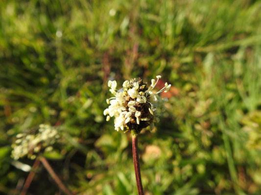 Blüte des Spitzwegerich (Plantago lancelota), Foto: D. Chalwatzis