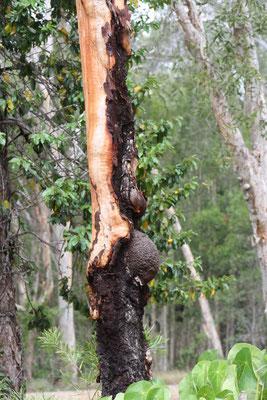 Pregnant Dyrad Tree Spirit