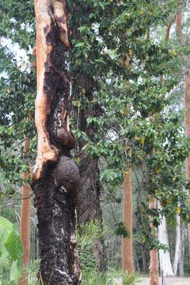 Pregnat Dyrad Tree Spirit