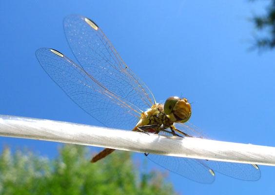 Große Heidelibelle ♀