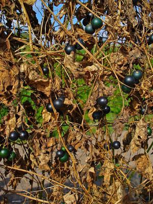 Bryonia alba Früchte
