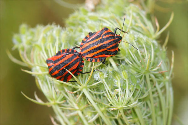 Wilde Möhre, graphosoma-lineatum Foto: NABU Helge May