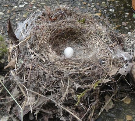 Nest einer Bachstelze