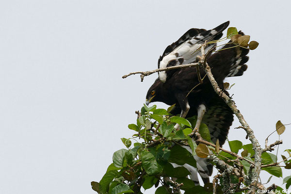 Schopfadler (Long-crested eagle)