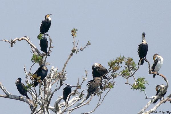 Weißbauchkormoran (Greater Cormorant)