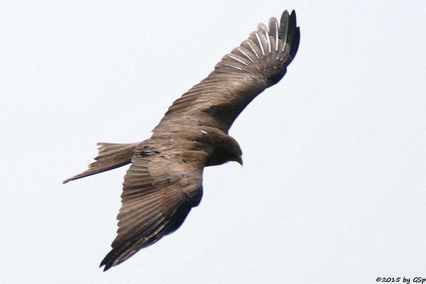 Schwarzmilan (Yellow-billed Kite)