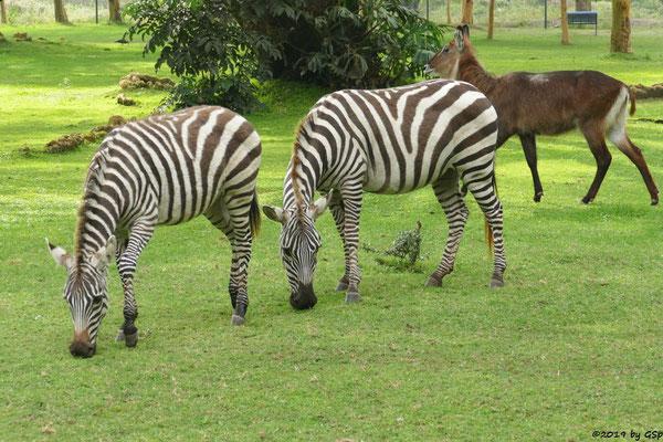 Böhm-Steppenzebra (Grant-Zebra), Defassa-Wasserbock (Roter Wasserbock)