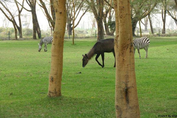 Defassa-Wasserbock (Roter Wasserbock), Böhm-Steppenzebra (Grant-Zebra)