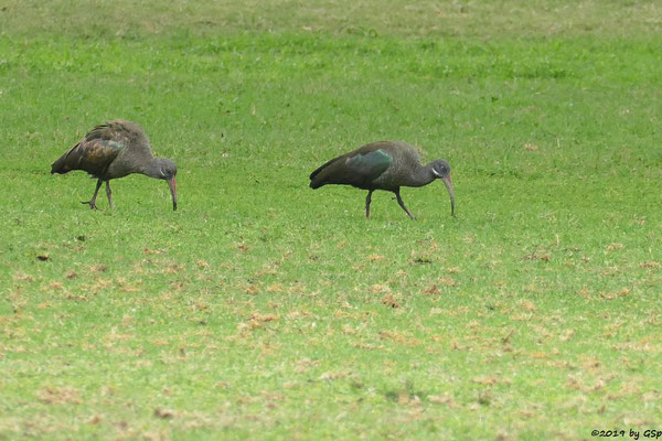 Ostafrikanischer Hagedasch