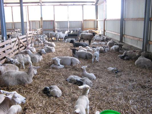 Große Gruppe von Schafen und Lämmern.
