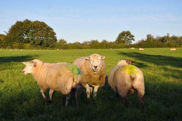Zuchtbock Ingo (Rasse Texel) und zwei Mutterschafe. Die Schafe haben einen farbigen Hintern, weil der Bock einen Wachsblock an der Brust trägt.
