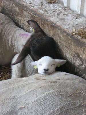 Auch Schafe kuscheln gerne.