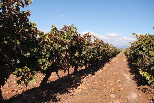 Vorbei an den den Rioja-Weinreben