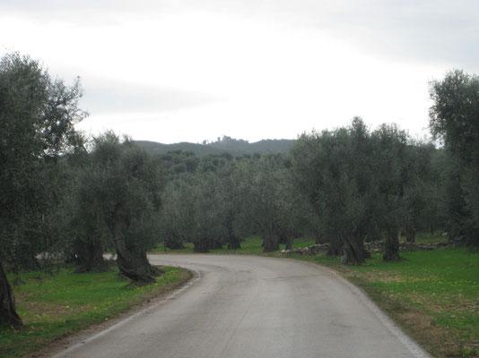 Unendliche Olivenlandschaften