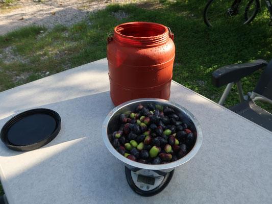 Hier kommen wir gar in den Genuss unserer eigenen, privaten Mini-Olivenernte - Freude kommt auf!