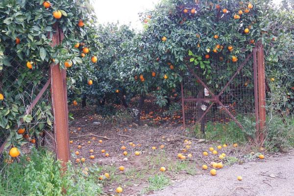 Die Orangenpracht fault vor sich hin am Boden und an den Bäumen - schmerzliche Bilder für uns