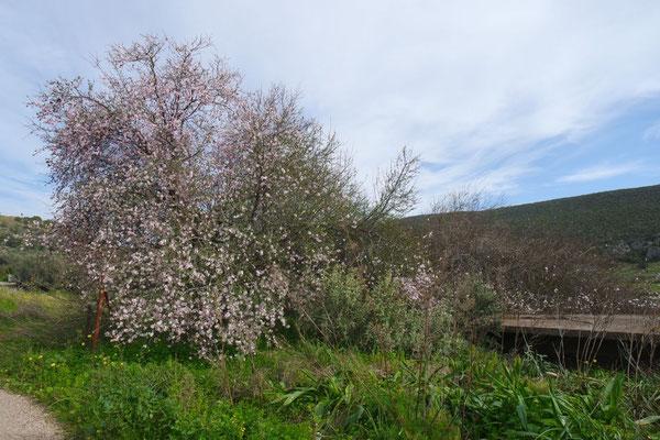 Der erste blühende Mandelbaum in seiner ganzen Schönheit