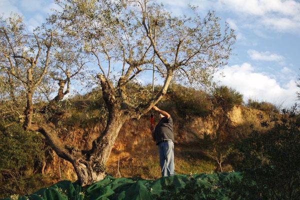 Der geschorene Baum wird noch mit dem Stirer gekämmt