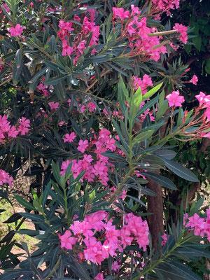 Leuchtender Oleander, auf Kreta wächst er beinahe wie Unkraut!