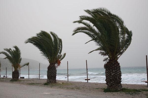 Der Sandsturm dirigiert die Palmenköpfe in eine einzige Richtung