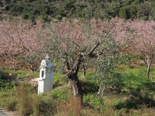 Die Mandelblüten in ihrer vollen Pracht