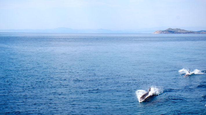 Überraschung pur, wir sind fasziniert - blitzschnell düsen die Delfine über und unter der Meeresoberfläche