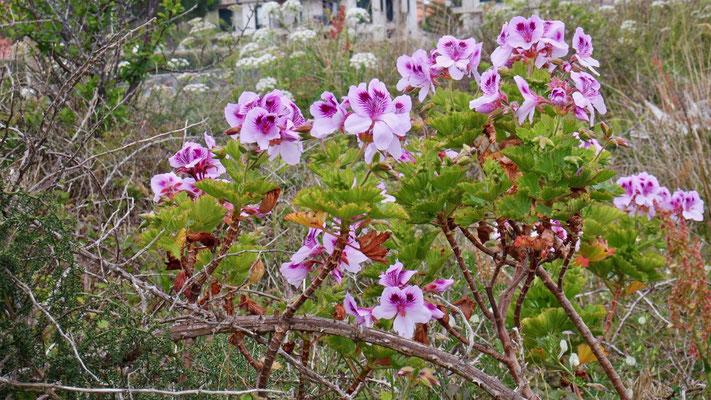 Galizische Naturblütenpracht