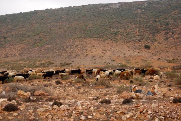 Marokko das Ziegenland!