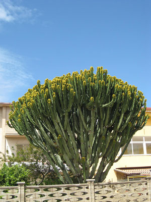 Blühender Kaktus unterwegs