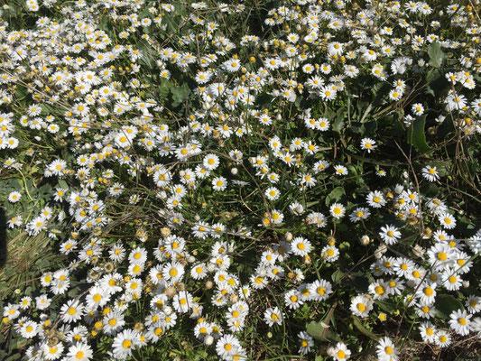 Die Müllerblümchen lassen den Frühling erahnen